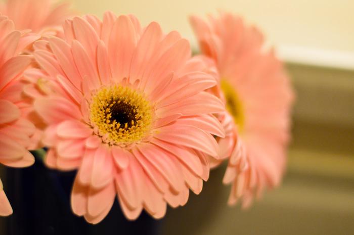 Pink Gerberas. Dreamy.