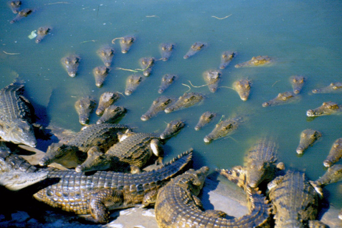 A pit of crocodiles.