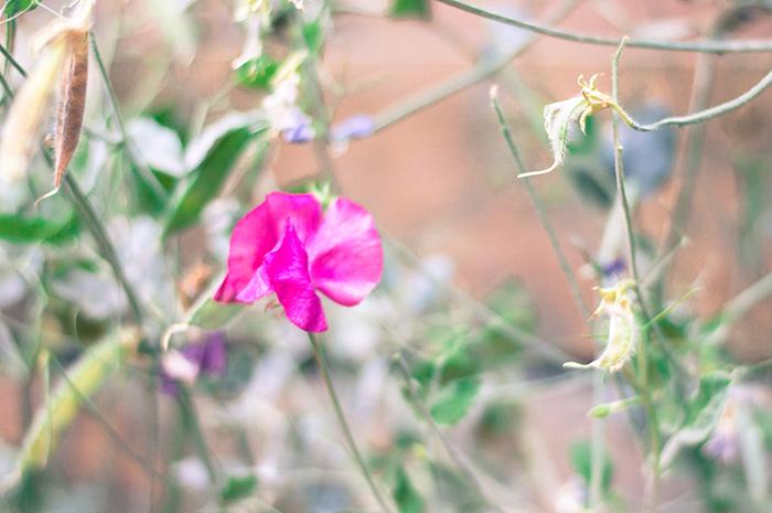 Pink sweet peas