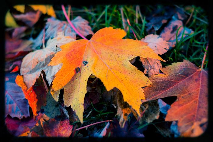 Yellowy-orange leaf