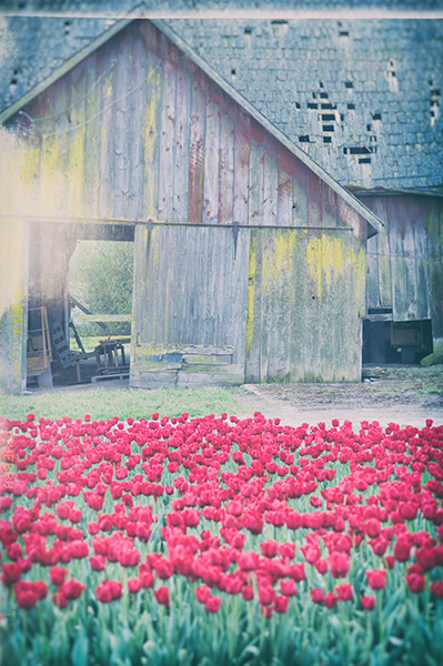 Tulips in front of a barn