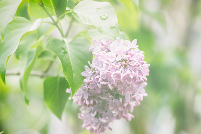 Lilac in New West
