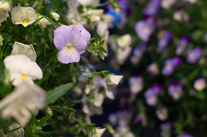 Pansy baskets