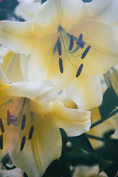 Buttery yellow lilies